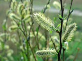 Willow twig with flowering catkins — Stok fotoğraf