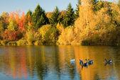 Stado dzikich gęsi w lesie jesienią — Zdjęcie stockowe