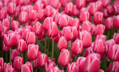 Colorful field of pink tulips — Stock Photo