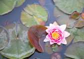 Beautiful pink waterlily in a pond — Stock Photo