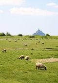 Ovejas en un campo cerca de mont saint-michel — Foto de Stock