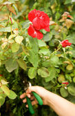 Pruning a rose in garden — Stock Photo