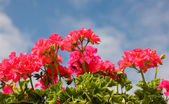 Beautiful pink flowers over the blue sky — Stock Photo