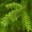 Royalty-Free Stock Photo: Fir`s branchis.