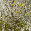 The moss on a tree`s peel. - Stock Photo