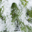 Stock Photo: Fir tree.