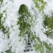Stockfoto: Fir tree.