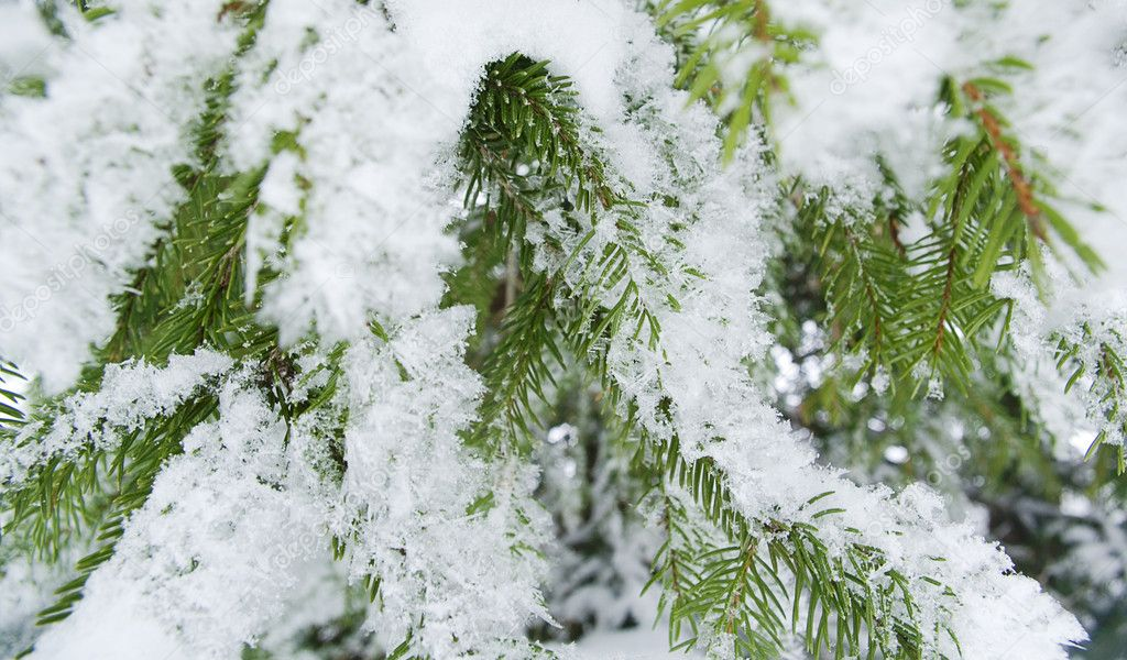Fir tree with snow.  Stock Photo #1481551