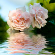 Close-up of pink rose with water drops — Stock Photo