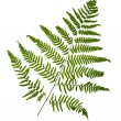 Stock Photo: Fern leaf isolated on white background