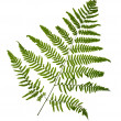 Fern leaf isolated on white background — Stock Photo
