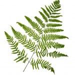 Fern leaf isolated on white background — Stock Photo