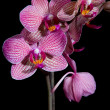 Purple orchid flower — Stock Photo