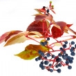 Foto Stock: Leafage of wild grape