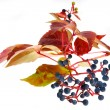 Stockfoto: Leafage of wild grape