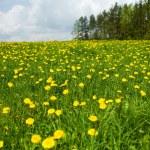 Dandelion field near forest — Stock Photo
