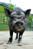 Black pig — Stock Photo