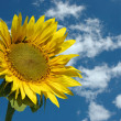 Beautiful Sunflower, blue sky and clouds — Stock Photo