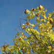 Stock Photo: Yellow autumnal leaves