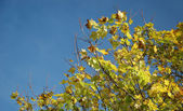 Yellow autumnal leaves — Stock Photo