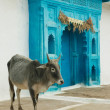 Indian sacred cow and blue gates — Stock Photo