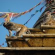 Stock Photo: Monkey at Monkey temple in Kathmandu