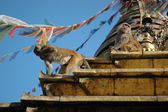 Monkey at the Monkey temple in Kathmandu — Stock Photo