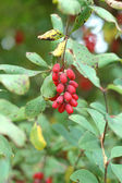 Autumnal barberry fruits — Stock Photo