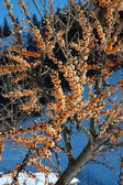 Common Sea-Buckthorn — Stock Photo