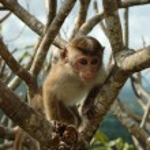 Monkey - Bonnet Macaque (Macaca radiata) — Stock Photo
