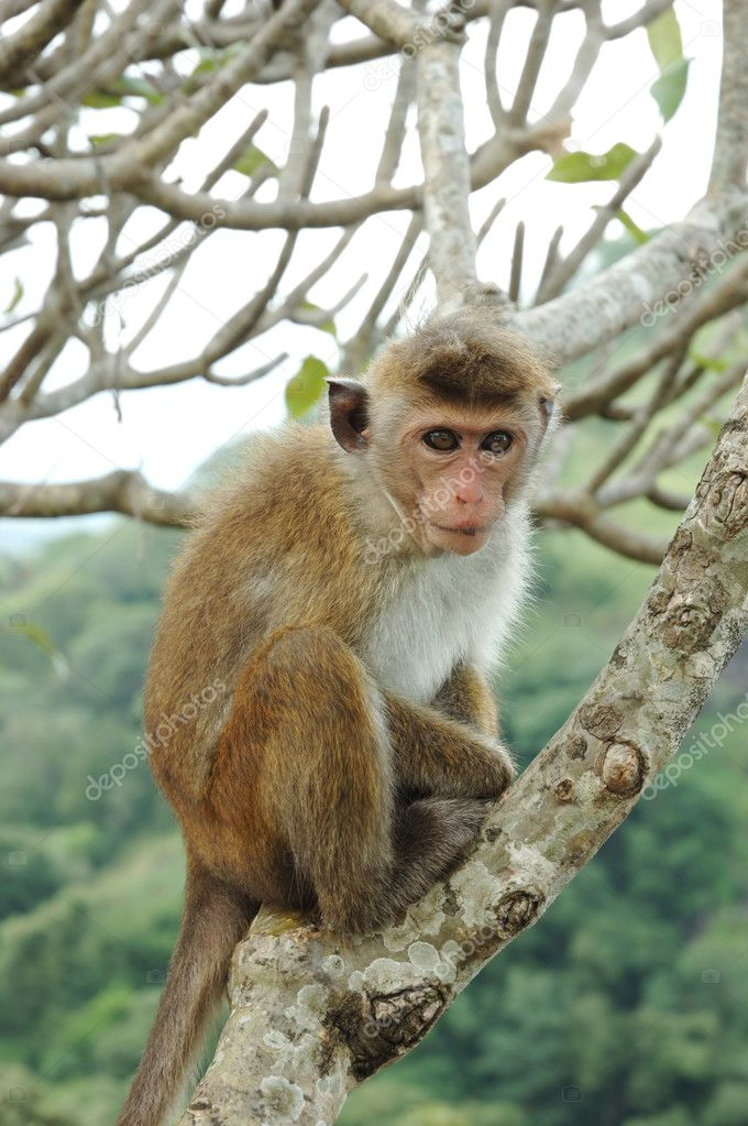 Bonnet Macaque (Macaca radiata) lives in tropical forests of South-eastern Asia — Stock Photo #1686437