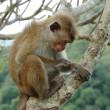 Bonnet Macaque (Macaca radiata) — Stock Photo
