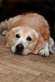 Sad golden retriever lying on the floor — Stock Photo