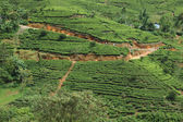 Sri Lanka tea plantation — Stock Photo