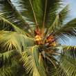 Stock Photo: Coconut tree with fruits -palm