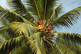 Coconut tree with fruits -palm — Stock Photo