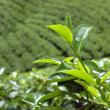 Sri Lanka tea plantation near Hatton — Stock Photo #2550046