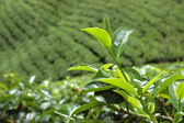 Sri Lanka tea plantation near Hatton — Stock Photo