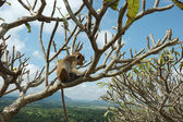 Monkey - Bonnet Macaque (Macaca radiata) — Stock Photo