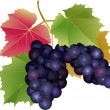 Royalty-Free Stock Vector: Cluster of grapes with leaves