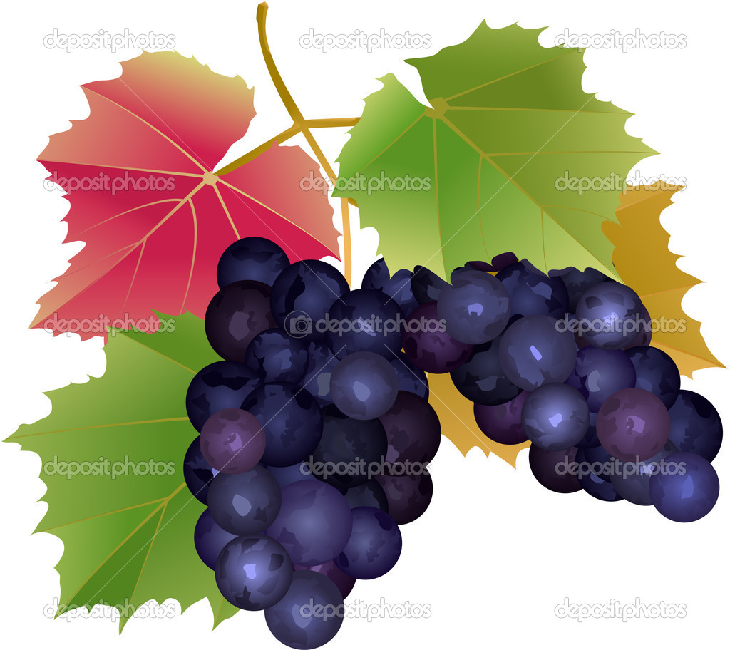Cluster of grapes with leaves — Stock Vector #1534387