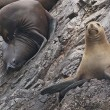 Stock Photo: Fur Seals