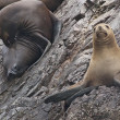 Fur Seals — Stock Photo