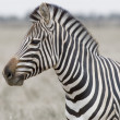 Stock Photo: Head of zebra