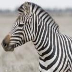 Head of the zebra — Stock Photo