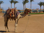 Camel on beach — Stock fotografie
