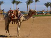 Camel op strand — Stockfoto