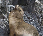 Fur Seal — Stock Photo