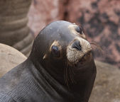 Head of Fur Seal — Stock Photo