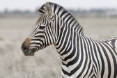 Head of the zebra — Stock Photo